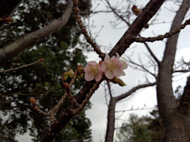 伊豆四季の花公園寒桜.jpg