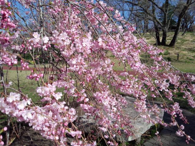 2014さくらの里しだれ桜.jpg
