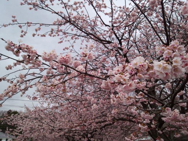 2015大寒桜.jpg