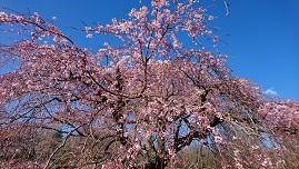 しだれ桜.JPG