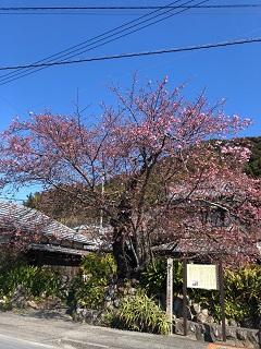 桜河津.jpg